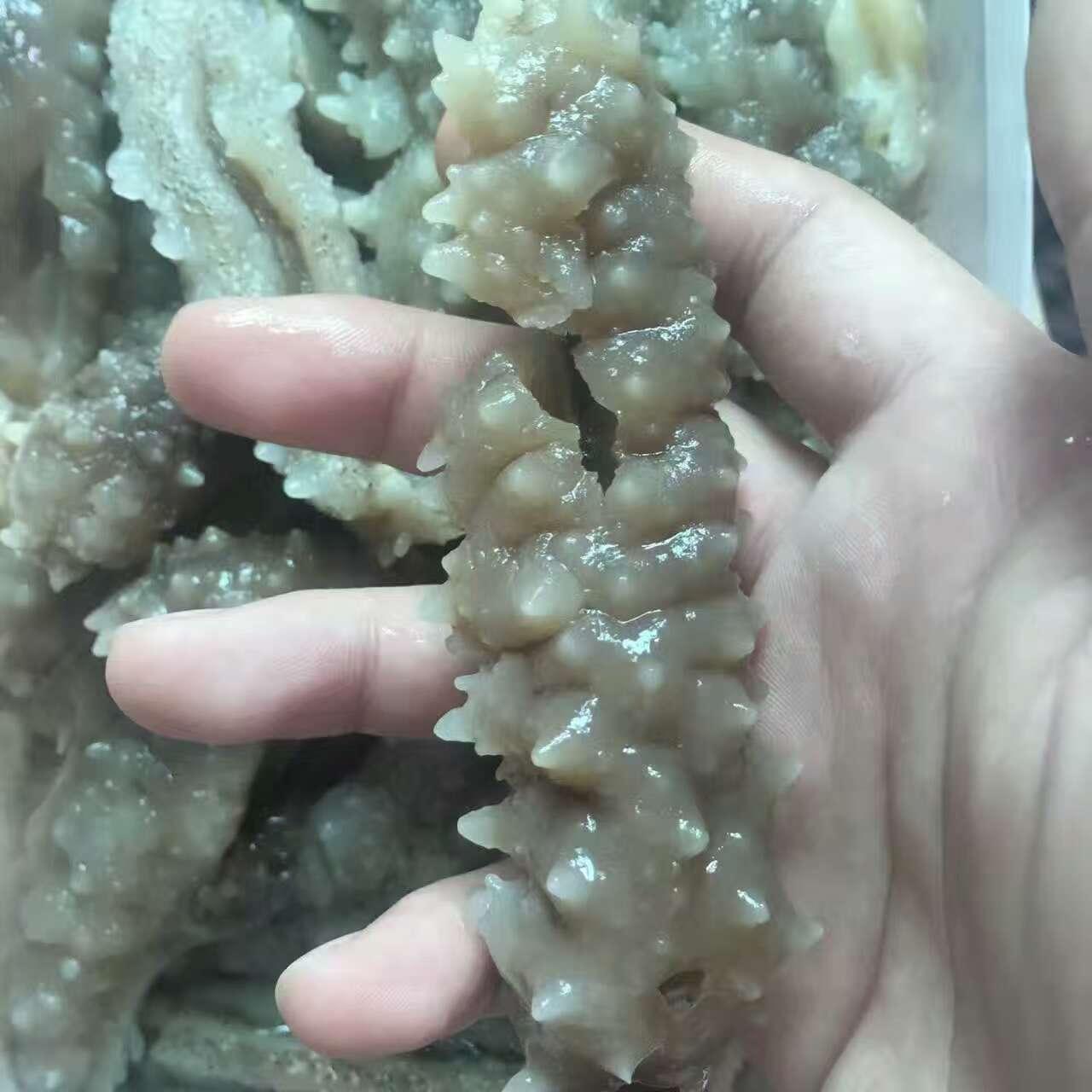 印尼野生刺参